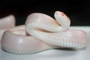 soñar con serpiente blanca