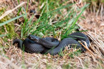 soñar con serpiente negra