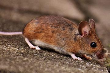 Soñar con ratones pequeños