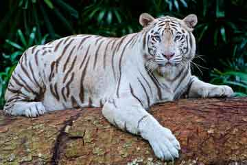 Soñar con tigre blanco