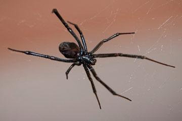 Soñar con araña negra