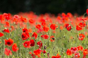 soñar con flores rojas