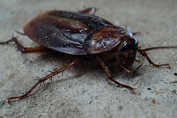 Soñar con cucarachas vivas