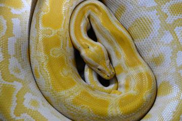 Soñar con serpiente amarilla