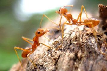 Soñar con hormigas rojas
