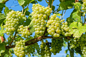 Soñas con uvas verdes
