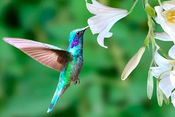 soñar con colibrí