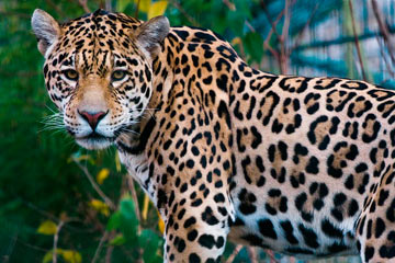 Soñar con jaguar