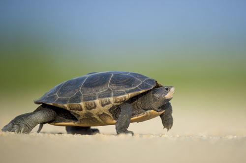 tortuga caminando