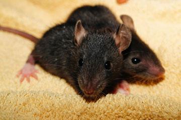 soñar con matar ratas negras